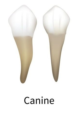 An illustration of the canine teeth including the root.